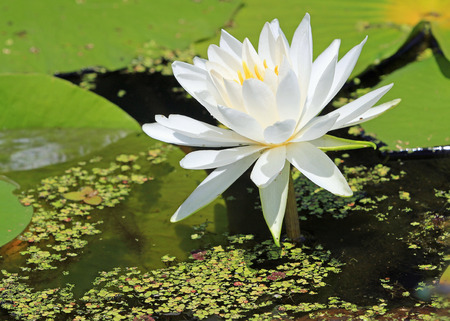 White water lily close up Imagens