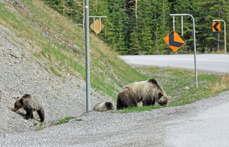 Grizzly bears close to the road, Canada