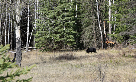 Black bear on the edge of the forest, Banff NP, Canada 版權商用圖片 - 122005089