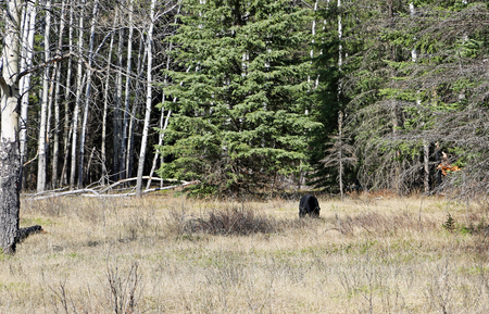 Black bear in the clearing, Banff NP, Canada Stock Photo