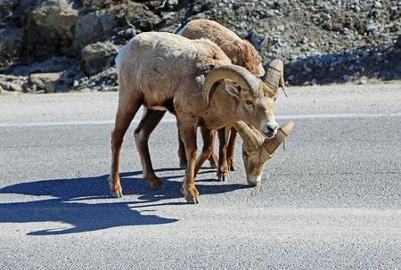 Bighorn sheep crossing the road, Jasper NP, Canada