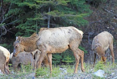 Female elk herd, Canada