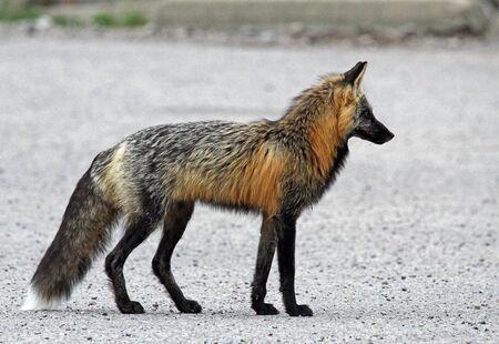 Gray fox silhouette, Jasper NP, Canada 版權商用圖片