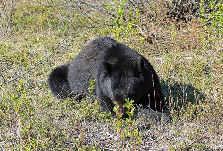 Black bear - Canada Banco de Imagens