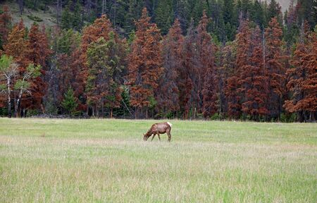 Female elk on the meadow, Canada 免版税图像