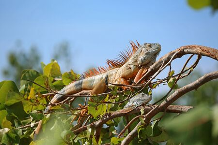 Two iguana on the branch, Florida Stock Photo