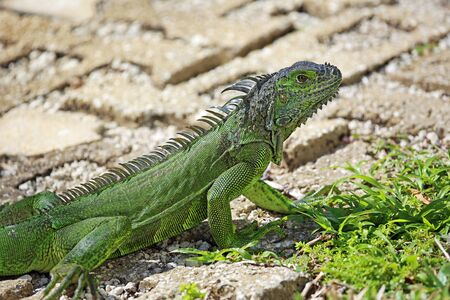 Green iguana on the path, Florida