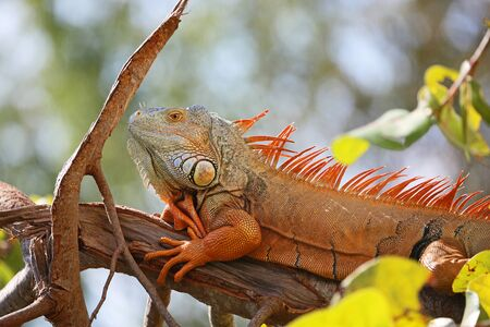 Orange iguana close up, Florida
