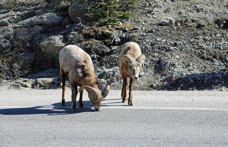 Two bighorn sheep- Jasper NP, Canada