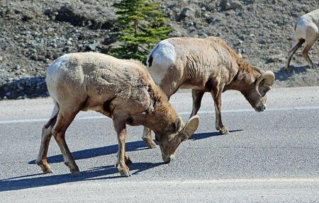 Bighorn sheep on the road - Jasper NP, Canada