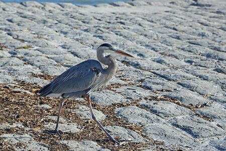 Great blue heron walking, Florida