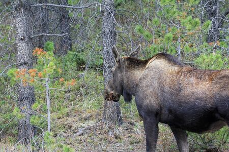 Female moose in forest, Canada