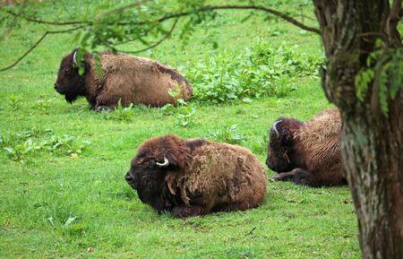 Buffalo herd resting