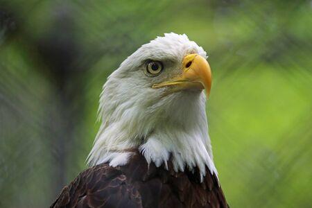Bald eagle Reklamní fotografie