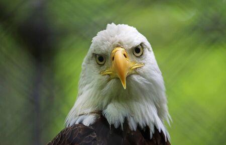 Weißkopfseeadler beobachten