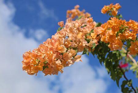 Orange bougainvillea glabra, Bahamas
