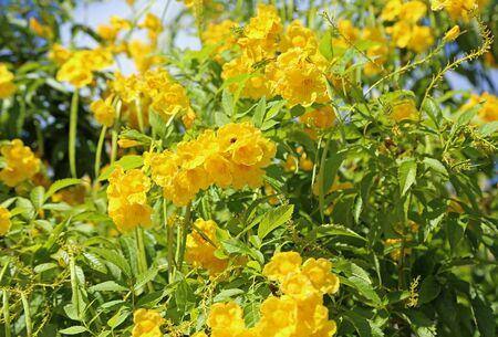 Yellow elder flower, Bahamas