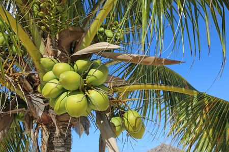 Palm tree with coconuts, Bahamas