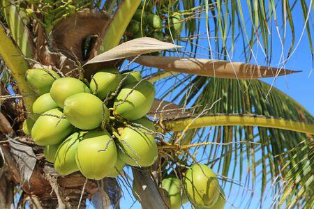 Coconuts, Bahamas