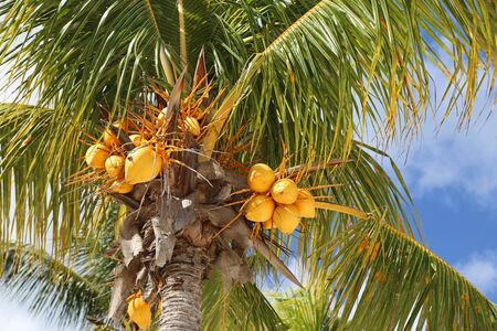 Palm tree with yellow coconuts, Bahamas Stok Fotoğraf