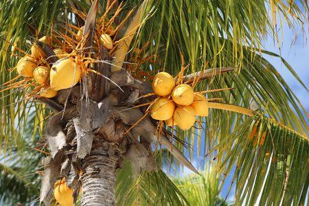 Yellow coconuts, Bahamas Stok Fotoğraf