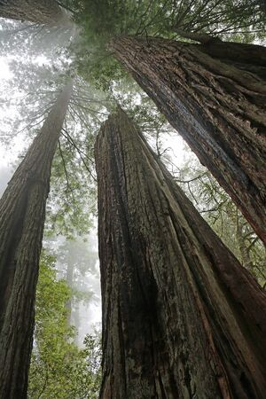 Looking up sequoia trees vertical, California