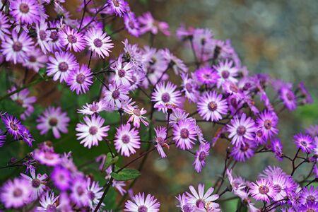 Purple aster flowers Фото со стока