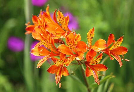 Orange astroemeria