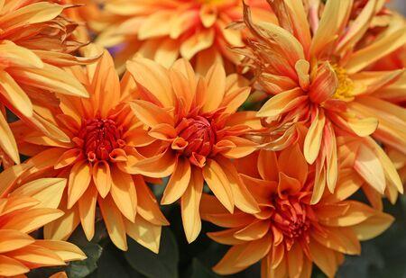 Orange dahlia flowers