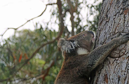 Climbing Koala close up - Kennett River, Victoria, Australia