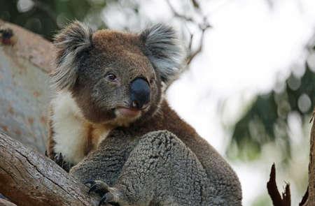 Sweet Koala bear - Kennett River, Victoria, Australia