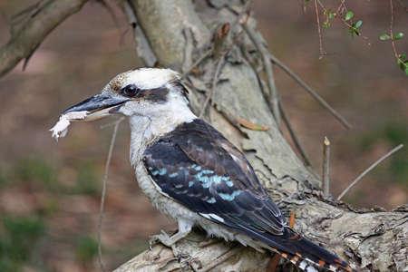 Kookaburra bird - Victoria, Australia