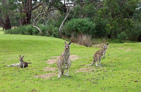 Three Kangaroo - Victoria, Australia Stock Photo