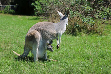 Kangaroo mother - Victoria, Australia 写真素材