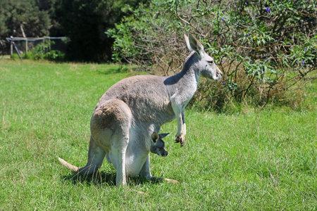 Kangaroo mother with a joey - Victoria, Australia 写真素材
