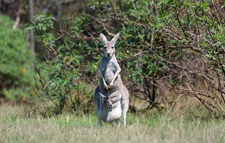 Kangaroo family - Victoria, Australia