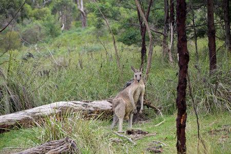 Wild Kangaroo - Churchill NP, Victoria, Australia