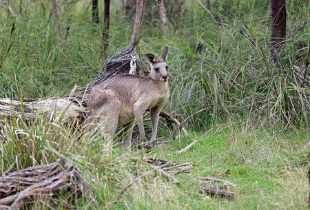 Kangaroo in grass - Churchill NP, Victoria, Australia