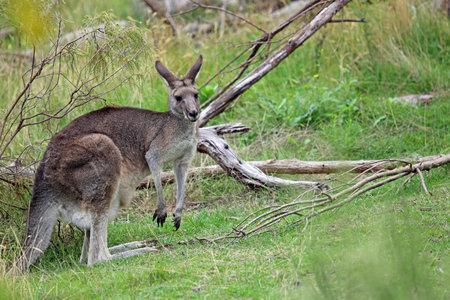 Female Kangaroo in green - Churchill NP, Victoria, Australia