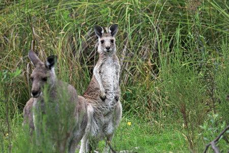 Kangaroos - Churchill NP, Victoria, Australia