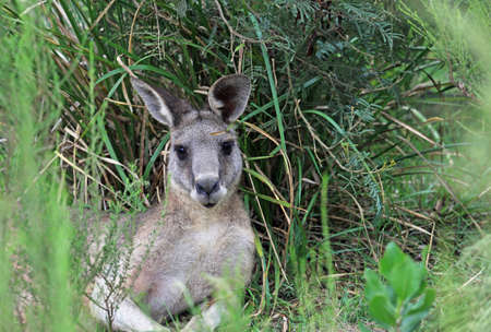 Kangaroo resting - Churchill NP, Victoria, Australia 스톡 콘텐츠