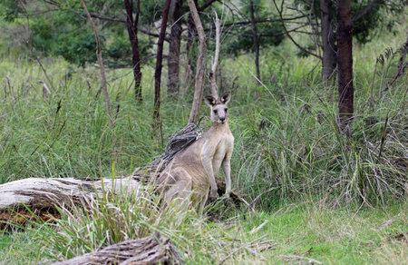 Wild Kangaroo in Churchill NP, Victoria, Australia