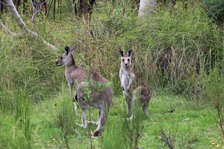 Two Kangaroo - Churchill NP, Victoria, Australia 스톡 콘텐츠