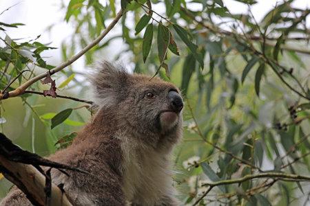 Koala watching - Victoria, Australia