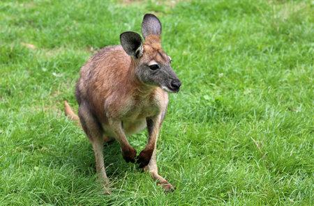 Red Kangaroo on green grass - Victoria, Australia