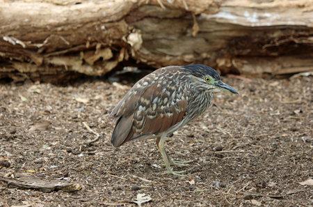 Australian bittern heron - Victoria, Australia 스톡 콘텐츠