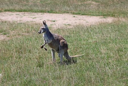 Kangaroo watching - Victoria, Australia