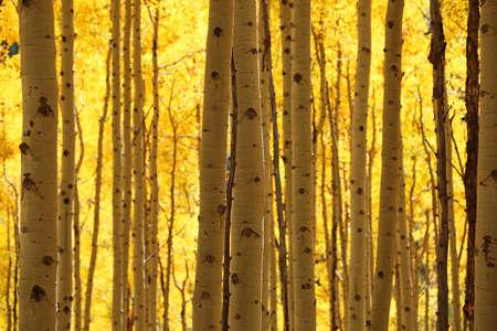 Aspen tree stem - Colorado