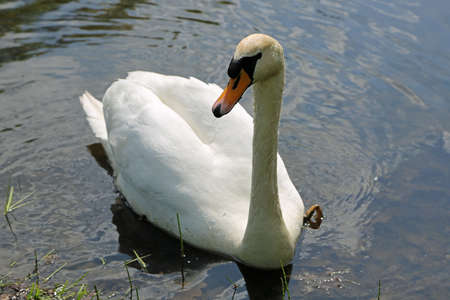 Swan looking right - Myslecinek near Bydgoszcz, Poland Archivio Fotografico