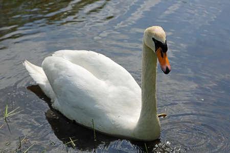 White Swan - Myslecinek near Bydgoszcz, Poland
